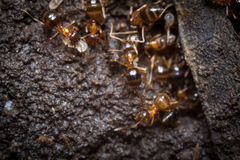 Red Ants Eggs Royalty Free Stock Photography