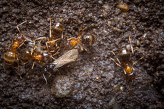 Red Ants Eggs Royalty Free Stock Image