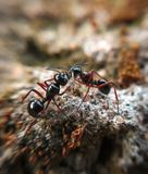 Two red ants approaching each other. Red ants fighting or approaching each other royalty free stock image