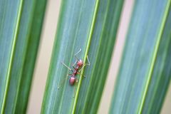 Red ants or fire ants on green palm leaf, Thailand, macro, closeup. Red ants or fire ants on green palm leaf, Thailand, macro, close up royalty free stock photography