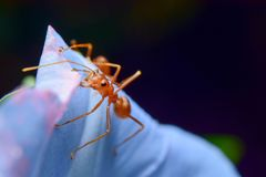 Red ants. Are on flowers stock photography