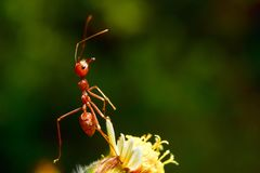 Red ants. Are on flowers stock photo