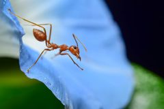 Red ants. Are on flowers royalty free stock photo
