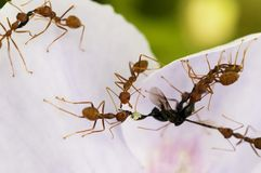 Red Ants Food. Ants working together to gather food Stock Photography