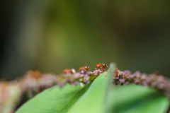 Red ants on a green leaf Stock Photo