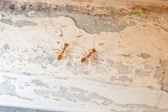 Red Ants group eat food in the morning. Royalty Free Stock Image