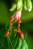 Red ants. Helped pull flowers stock photography