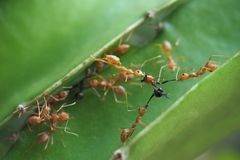 Red ants are helping to fight with enemies. Red ants are helping to fight black ant stock photos