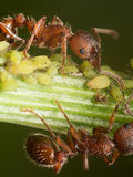 Red Ants herds small green aphids on green plant stem with black Royalty Free Stock Photo