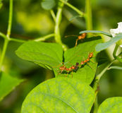 Red ants and insect Stock Photo