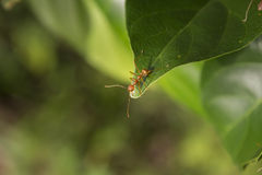 Red Ants on leaf Royalty Free Stock Photography