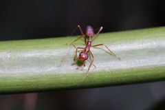 Red ants on the Leaf Stock Photos