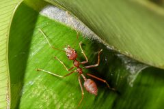 Red ants are on the leaves in nature. royalty free stock photo