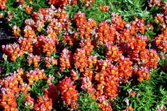 Red Ants. Little red flowers in garden Royalty Free Stock Images