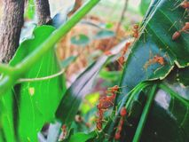 Red ants make a nest on green leaves. stock photos