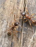 Red ants (Myrmicinae) on wood Stock Photo