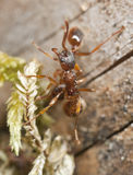 Red ants (Myrmicinae) on wood Stock Images