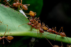 Red ants in the nature Stock Photos