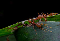 Red ants in the nature Royalty Free Stock Image