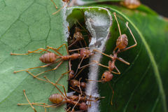 Red ants in the nature Royalty Free Stock Photography