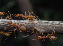 Red ants in the nature Stock Images