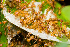 Red Ants in nest Royalty Free Stock Photography