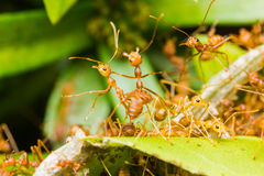 Red Ants in nest Royalty Free Stock Photos