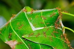 Red ants nest on Mango leaves in close up. Stock Photos