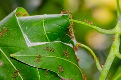 Red ants nest on Mango leaves in close up. Royalty Free Stock Photo