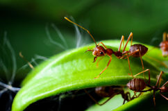 Red ants. Ready for bite stock images