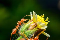 Red ants. Are on flowers stock photos