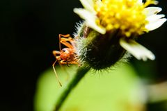 Red ants. Are on flowers royalty free stock images