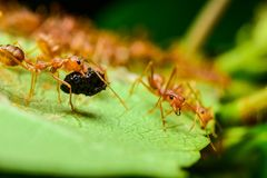 Red ants. Are on flowers royalty free stock image