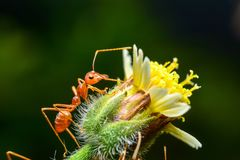Red ants. Are on flowers stock images