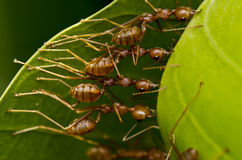 Red ants team work Stock Images