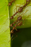 Red ants team work Stock Photo