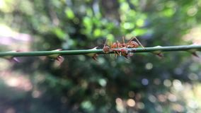 Red ants team work stock video footage