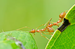 Red ants teamwork in green nature Royalty Free Stock Photos