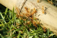 Red ants teamwork hunt black ant. In wild nature royalty free stock photo