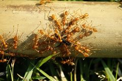 Red ants teamwork hunt black ant. In wild nature royalty free stock photography