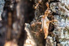 Red ants teamwork hunt for food, teamwork concept royalty free stock image