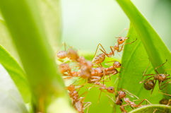 Red ants teamwork Royalty Free Stock Photography