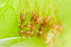 Red ants teamwork Royalty Free Stock Image