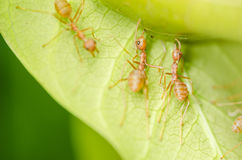 Red ants teamwork Royalty Free Stock Photo