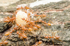 Red ants teamwork. Move for food,Red weaver ants Stock Photography