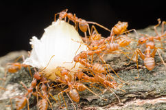Red ants teamwork. Move for food,Red weaver ants Royalty Free Stock Image