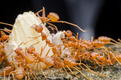 Red ants teamwork. Move for food,Red weaver ants Stock Photo