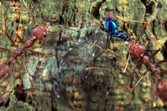 Red Ants and their prey Royalty Free Stock Photos