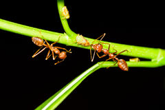 Red ants on tree branch Royalty Free Stock Photos