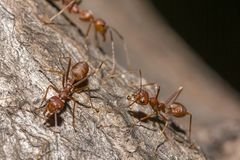 Red ants are on the tree. stock photography